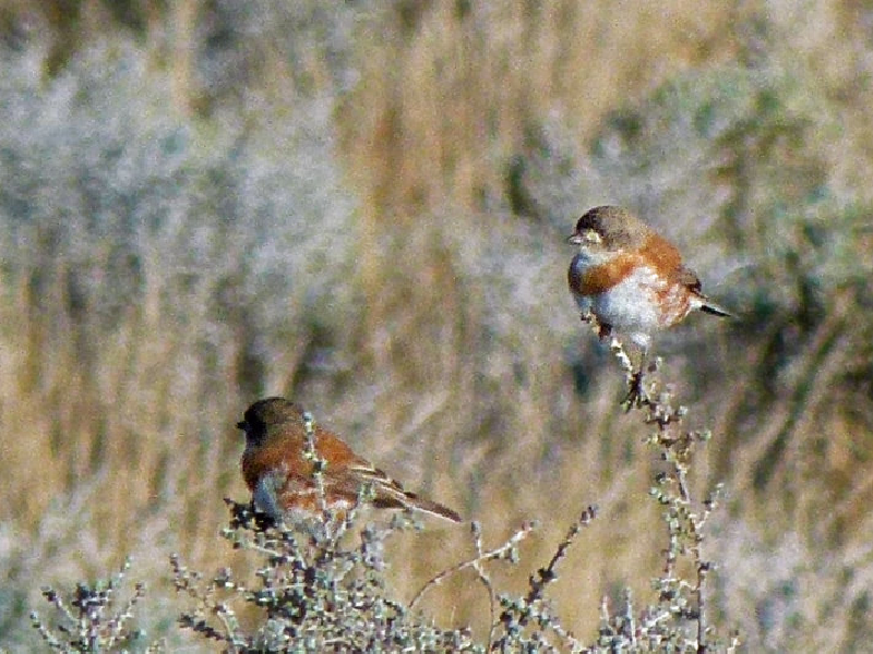 chestnut-breasted-whitface