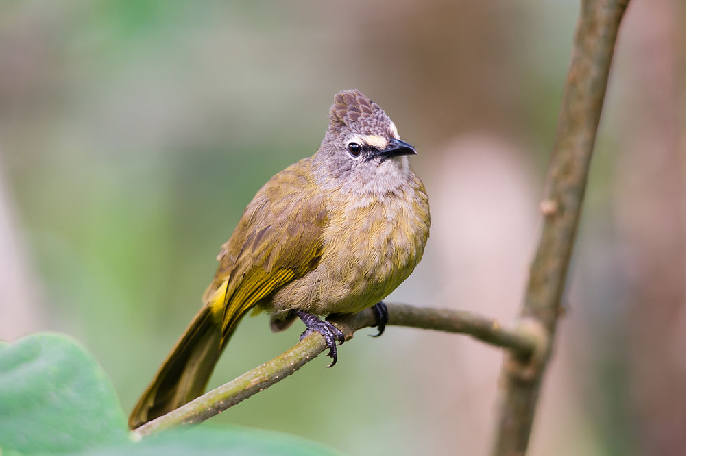 Pycnonotus flavescens, flavescent bulbul - photo from Wikipedia