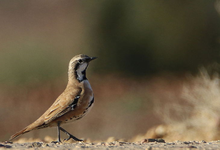 Alice Springs Area Guided Birding
