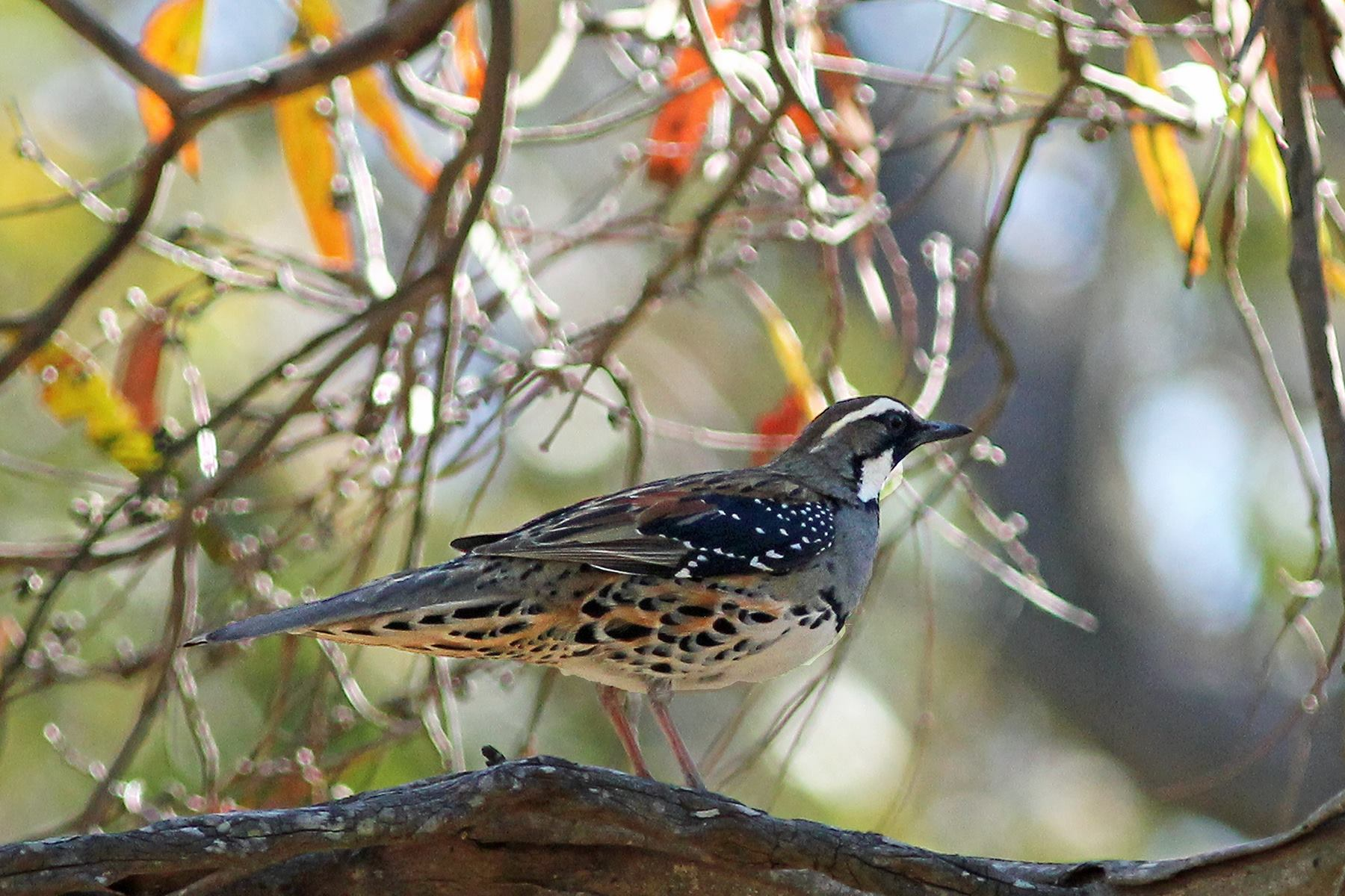 Canberra Area Guided Birding