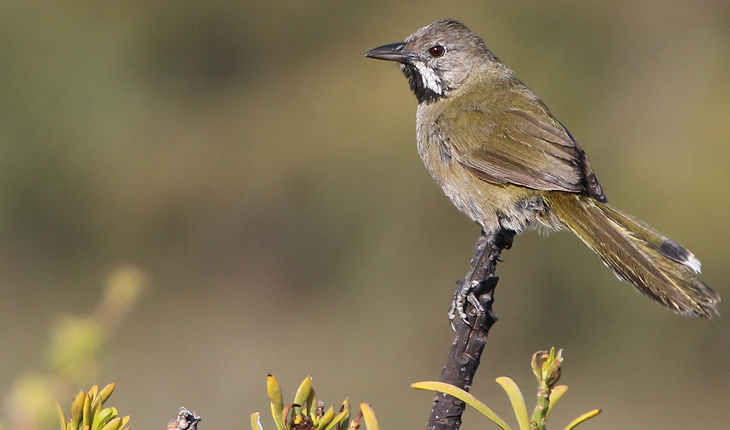South-West Endemics Birding Tour