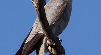 Lake Eyre's Outback Raptors