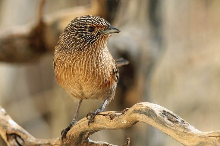 a grasswren bird during bellbird's tour