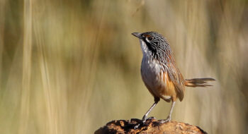 Mount Isa Grasswrens Short Birding and Photography Tour
