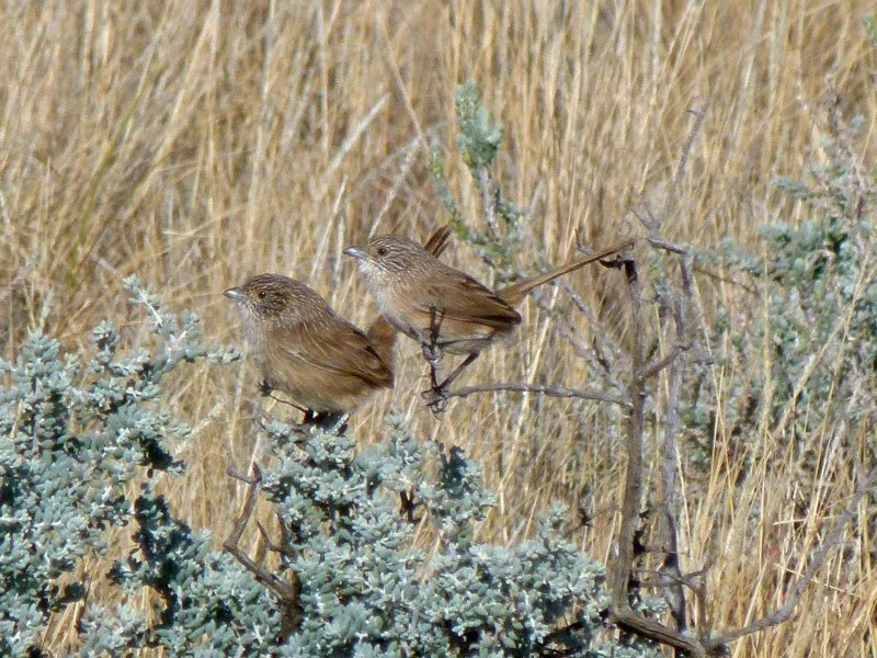 thick-billed-grasswren