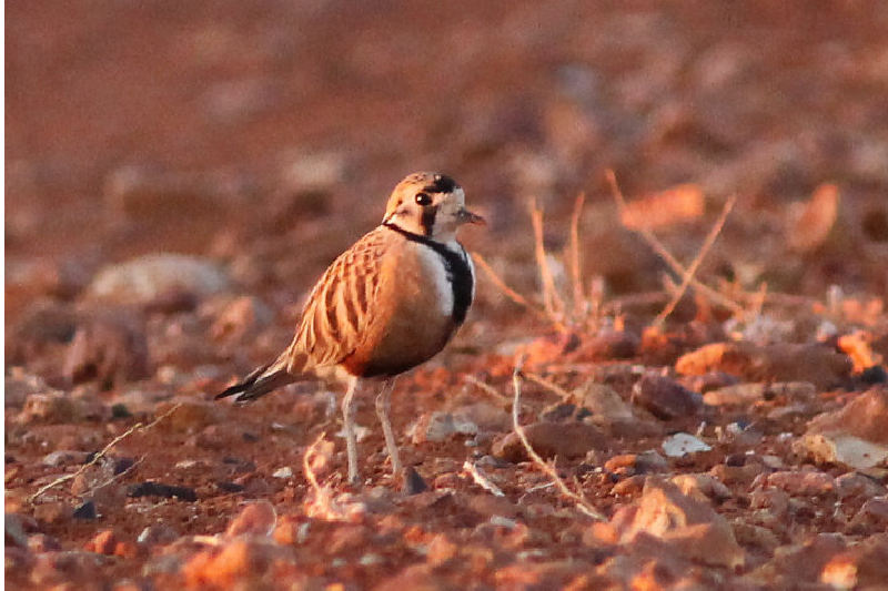 inland-dotterel