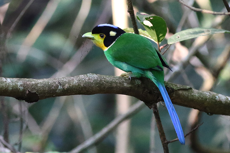Thailand Birding Tours: North & Central plus Southern extension