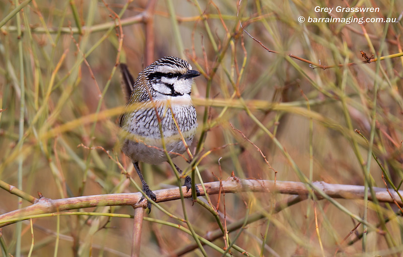 Grey Grasswren short tour