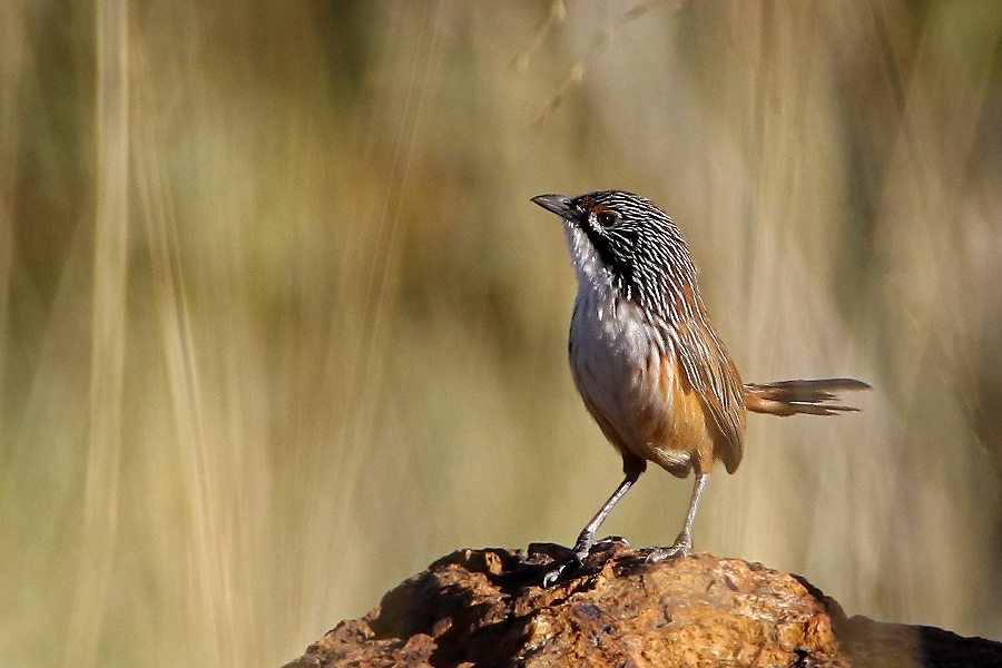 Nine Grasswren tour – 2 departures