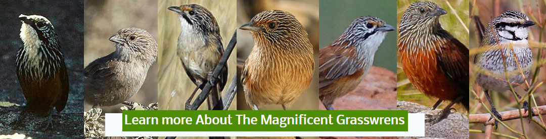 magnificent grasswrens